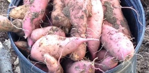 cropped-sweet-potato1.jpg